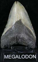 "5.16"" Megalodon Tooth - North Carolina For Sale, #23429"