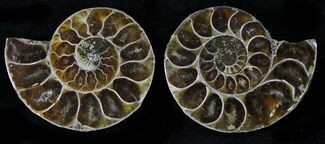 "Buy Small Desmoceras Ammonite Pair - 1.3"" - #23803"