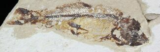 "Buy 3.3"" Cretaceous Fossil Fish (Hajulia sp.) - Lebanon - #24121"