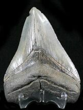 Carcharocles megalodon - Fossils For Sale - #24408