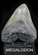 "Buy 5.39"" Fossil Megalodon Tooth - South Carolina - #24412"