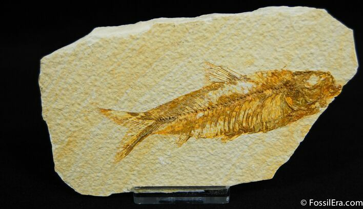 Classic Fossil Fish, 3.6 Inch Knightia From WY