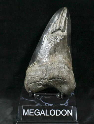 "Pathalogical 6.01"" Megalodon Tooth - South Carolina"
