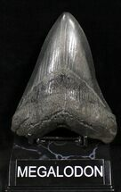 "Buy Bargain 5.07"" Megalodon Tooth - South Carolina - #25615"