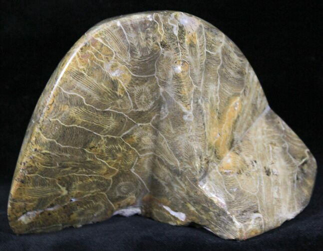 "3.9"" Polished Fossil Coral - Morocco"