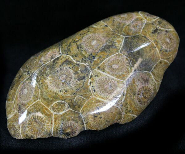 "2.6"" Polished Fossil Coral Head - Morocco"