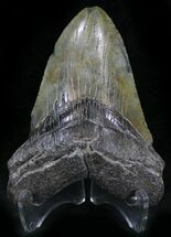 "Bargain 4.23"" Megalodon Tooth - South Carolina For Sale, #25655"