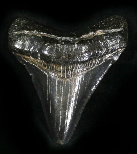 "2.37"" Juvenile Megalodon Tooth - South Carolina"