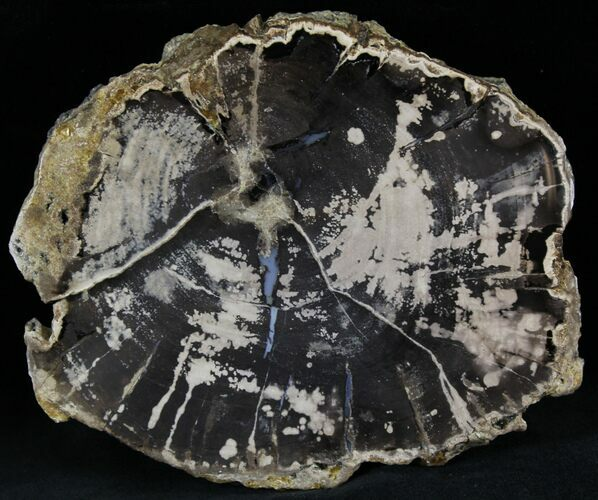 "5.2"" Petrified Wood Slab -  Sweethome, Oregon"