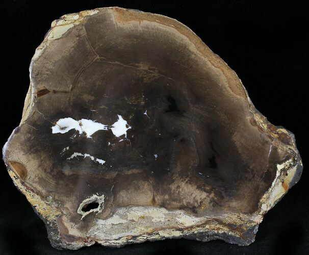 "5.1"" Petrified Wood Slab -  Sweethome, Oregon"
