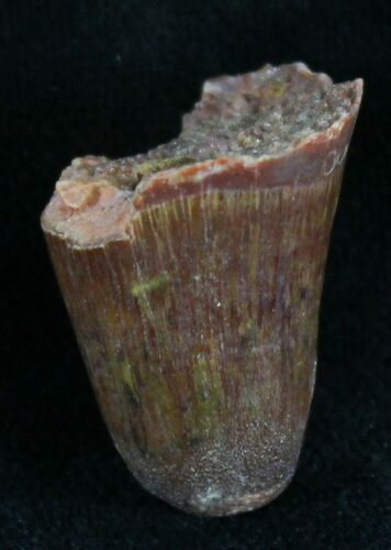 ".84"" Cretaceous Fossil Crocodile Tooth - Morocco"