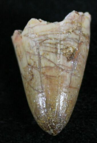 ".83"" Cretaceous Fossil Crocodile Tooth - Morocco"
