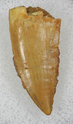 Bargain Raptor Tooth From Morocco - .98""