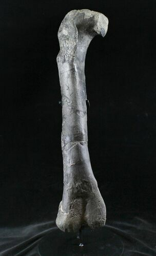"Excellent 22"" Allosaurus Femur From Colorado - With Stand"