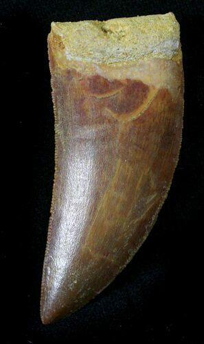 "Knife Like 1.94"" Carcharodontosaurus Tooth - Killer"