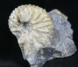 ".95"" Hoploscaphites Ammonite - Wyoming For Sale, #26855"