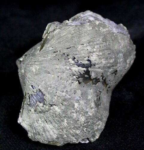 Large Pyrite Replaced Brachiopod - Silica Shale