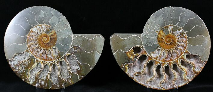 "7.4"" Cut And Polished Ammonite Pair - Agatized"