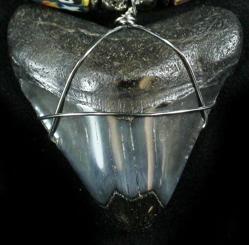 "1.5"" Juvenile Megalodon Tooth Necklace"