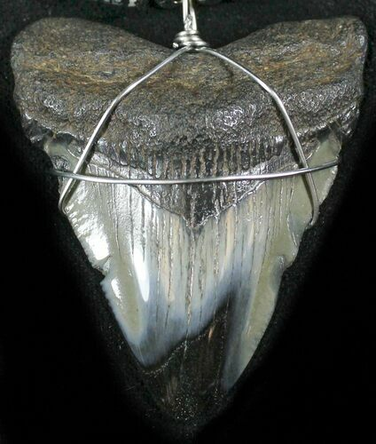 "2.1"" Juvenile Megalodon Tooth Necklace"