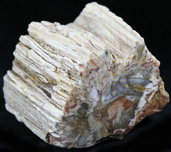 Polished Petrified Wood Limb - Madagascar