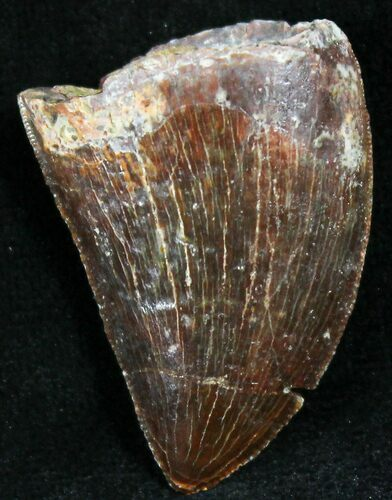 "Dark Colored 1.11"" Carcharodontosaurus Tooth"