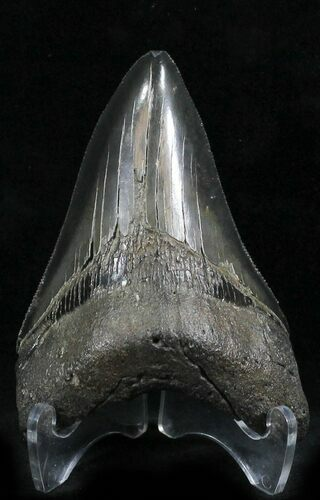 "Sharp! 3.89"" Megalodon Tooth - South Carolina"