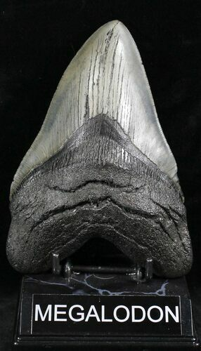 "Epic 6.01"" Megalodon Tooth - South Carolina"