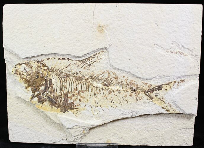 "Bargain 6.4"" Diplomystus Fossil Fish - Wyoming"