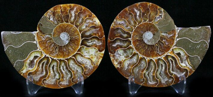 "3.2"" Polished Ammonite Pair - 110 Million Years"