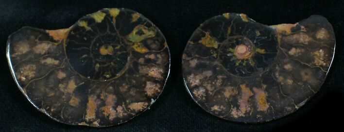 "1.4"" Iron Replaced Ammonite Fossil Pair"
