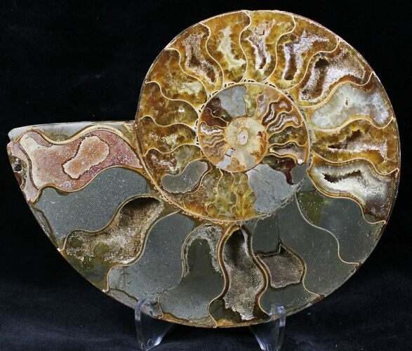 "6.1"" Cut Ammonite Fossil (Half) - Agatized"