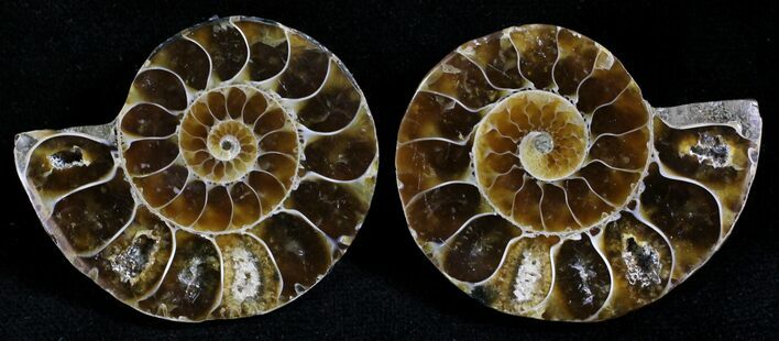 Small Desmoceras Ammonite Pair - 1.5""
