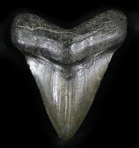"Bargain 2.43"" Juvenile Megalodon Tooth - South Carolina"