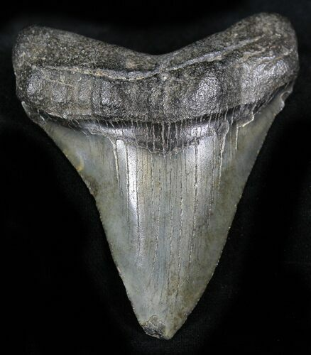 "Bargain 2.88"" Juvenile Megalodon Tooth - South Carolina"