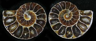 "Small Desmoceras Ammonite Pair - 1.4"" For Sale, #27887"