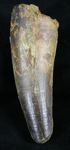 "Large 3.71"" Spinosaurus Tooth"