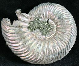 "Buy 1.45"" Quenstedtoceras Ammonite Fossil With Pyrite - #28393"