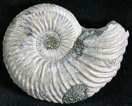 "Buy 1.45"" Quenstedtoceras Ammonite Fossil With Pyrite - #28396"
