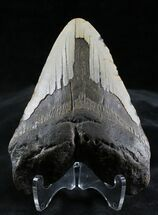 "Bargain 4.58"" Megalodon Tooth - North Carolina For Sale, #28490"