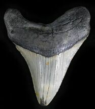 "Bargain 3.3"" Megalodon Tooth - North Carolina For Sale, #28508"