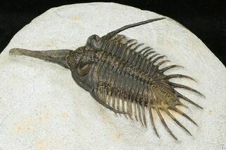 Psychopyge termierorum - Fossils For Sale - #29463