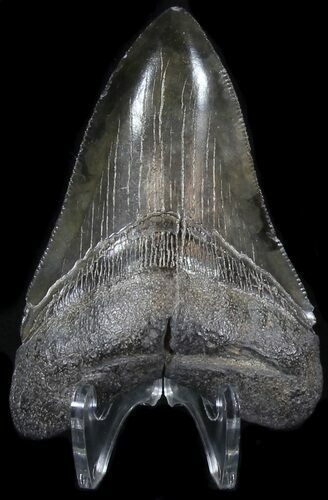 "Serrated 3.55"" Megalodon Tooth - South Carolina"