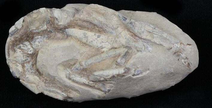 Fossil Lobster (Meyeria) - Cretaceous, Isle of Wight