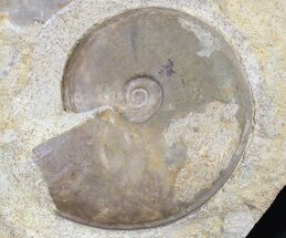 "3.7"" Dorsetensia Ammonite (Somerset, England) - Cyber Monday Deal! For Sale, #30785"