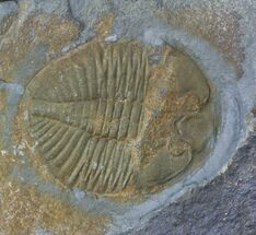 "1.48"" Ogyginus Cordensis - Classic British Trilobite For Sale, #30794"