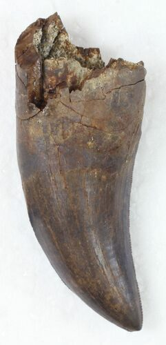 "Killer 1.84"" Tyrannosaur Tooth - Partial Root"