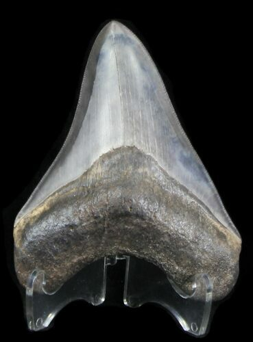 "Finely Serrated 4.19"" Megalodon Tooth - Georgia"