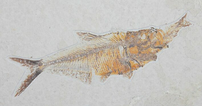 Extremely Rare Fish Aspiration Fossil - Fish Eating Fish!