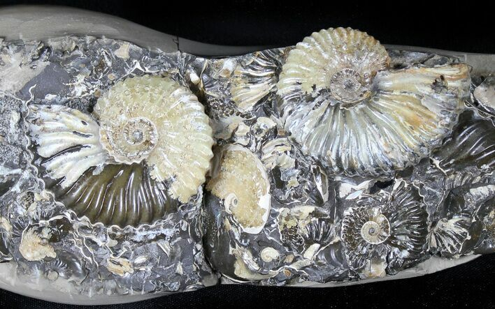 "8.6"" Wide Iridescent Ammonite (Deschaesites) Cluster - Russia"